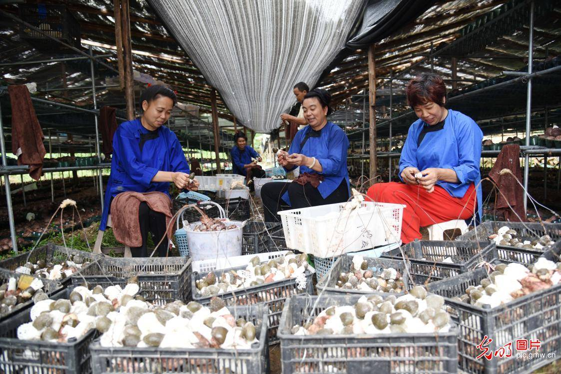 贵州榕江下的食用菌:森林助力脱贫攻坚