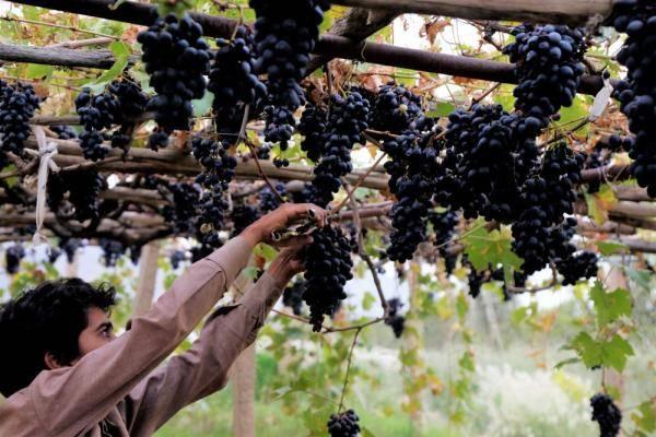 也门:葡萄飘香