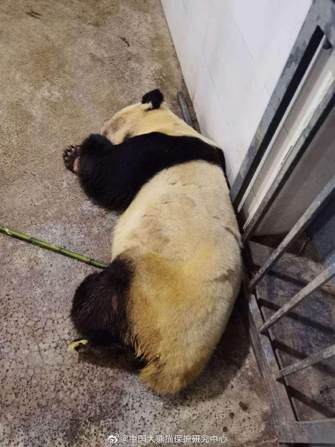 大熊猫雷蕾因病去世,是捐赠给台湾的大