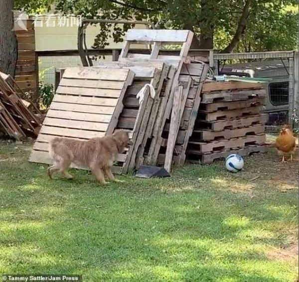 母狗靠近鸡舍遭公鸡驱赶不甘心 故意挑逗对方上演追逐赛 画风喜感