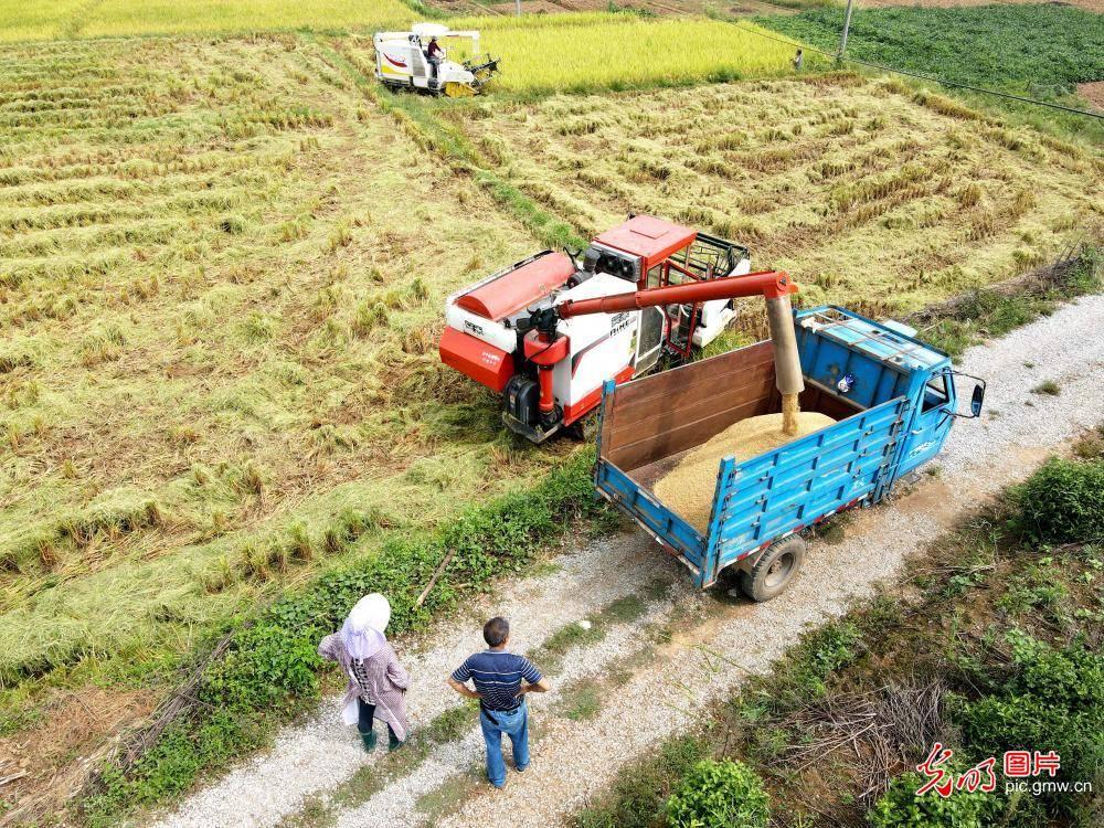 押注世界杯:金色田园 忙碌秋收 秋收金色稻谷的景色的句子