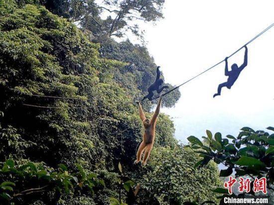 最新研究:人造绳桥或有利于珍稀灵长类保育行动