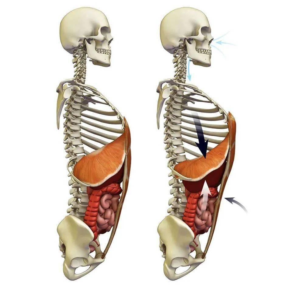 瑜伽练核心,常被忽视的膈肌&盆底肌,其实很重要!_距离