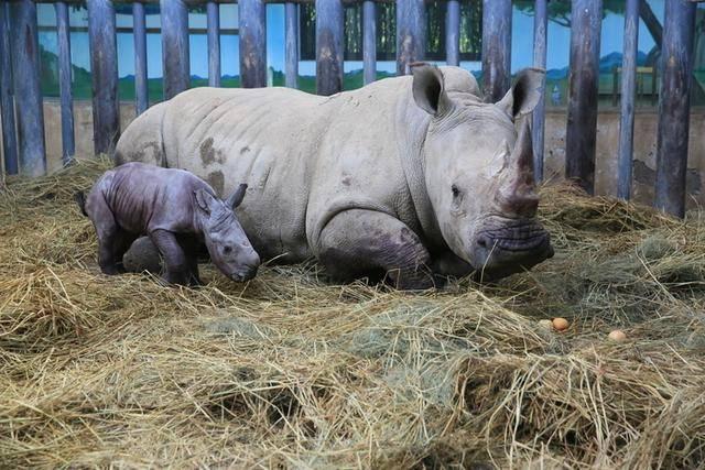中国北方首例:濒危物种南非双角白犀牛在济南繁育成功