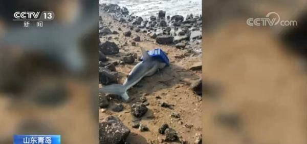 两米长鲨鱼搁浅海滩 山东青岛警民合力救援