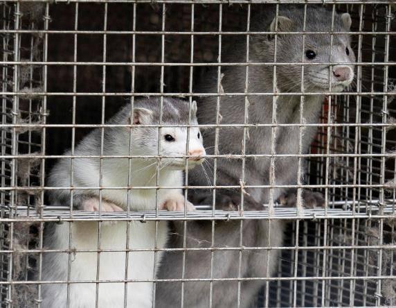 百事3注册丹麦宣布捕杀全国1700万水貂,因发现变异新冠病毒可传人