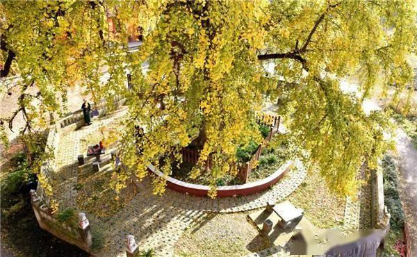 世界最古老银杏树遭雷劈后自愈 不少游客前来打卡