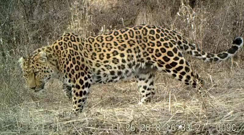 陕西延安发现国内最大华北豹区域种群