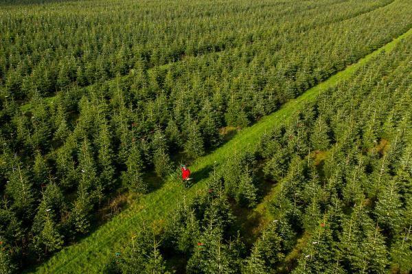 英国农场将迎来圣诞冷杉砍伐季