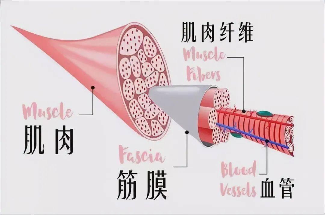 泡沫轴究竟和拉伸有什么不同,为什么要进行筋膜松解?