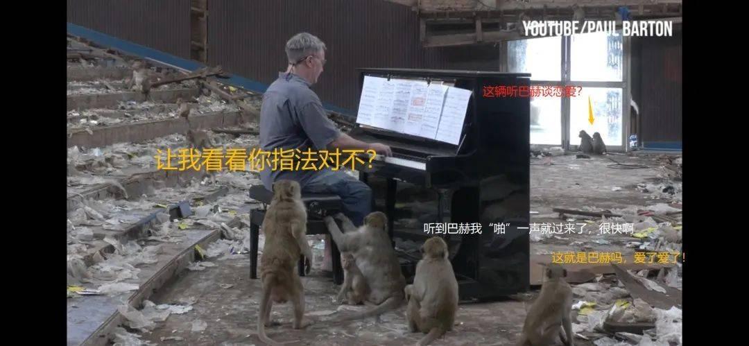 为猴群弹巴赫?猴王:真香!