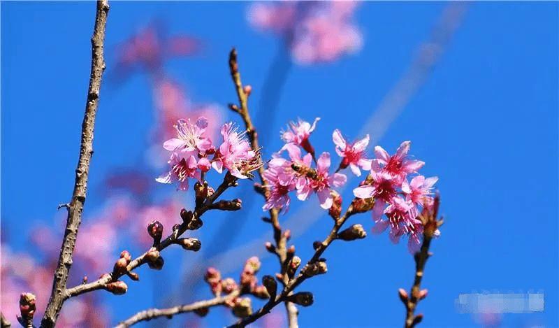 阳光下,和爱的人在红河这片粉色花海中漫步,实在是太美好了~