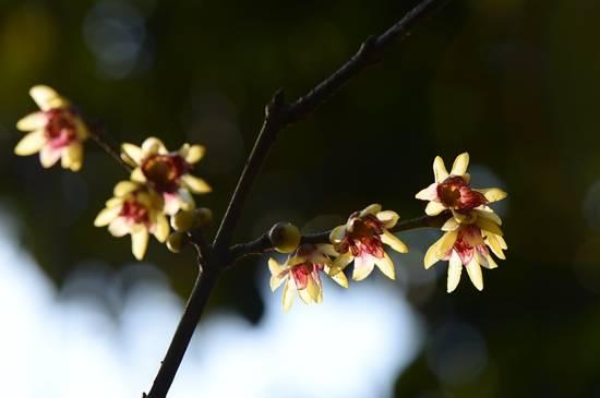 植物园蜡梅进入盛花期啦