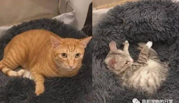 橘猫趴在猫窝上,肚底有一坨东西在颤抖,掀开发现一场孵猫闹剧!
