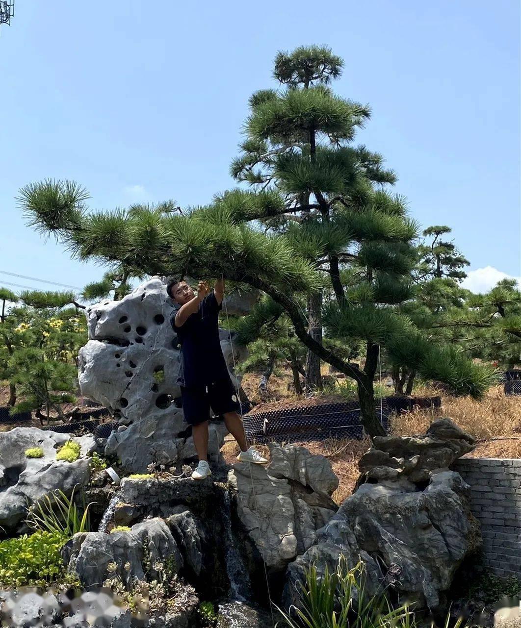 松树的作用_关于松树的诗句_人造松树