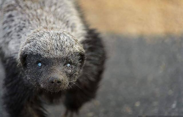 蜜獾为什么叫平头哥(贝爷打蜜獾,被追6小时)