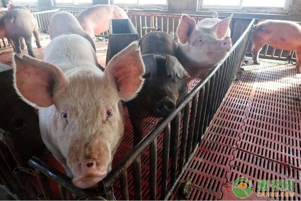 一头成年猪能卖多少钱(养猪的利润和成本是多少)插图(2)