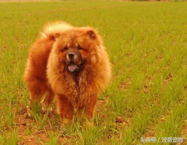 中国一共有多少种狗(狗狗品种介绍大全插图(6)
