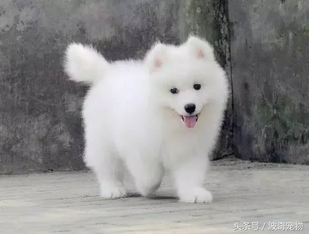 中国一共有多少种狗(狗狗品种介绍大全插图(14)
