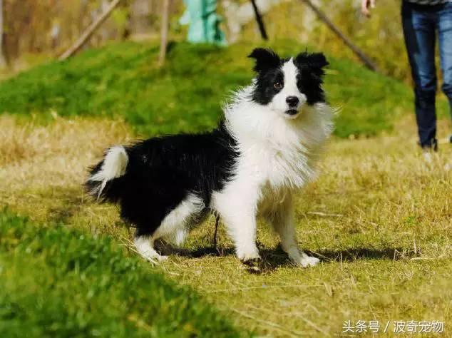 中国一共有多少种狗(狗狗品种介绍大全插图(12)
