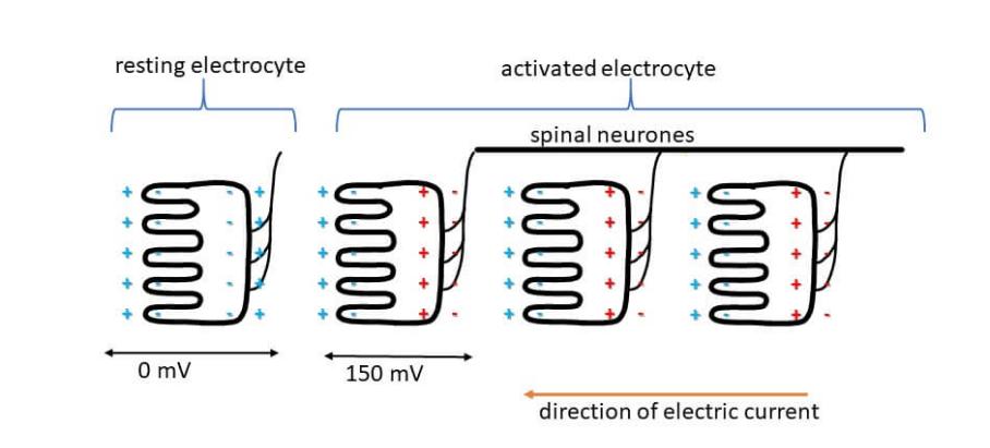 电鳗放电原理(电鳗为什么能够发电)插图(2)