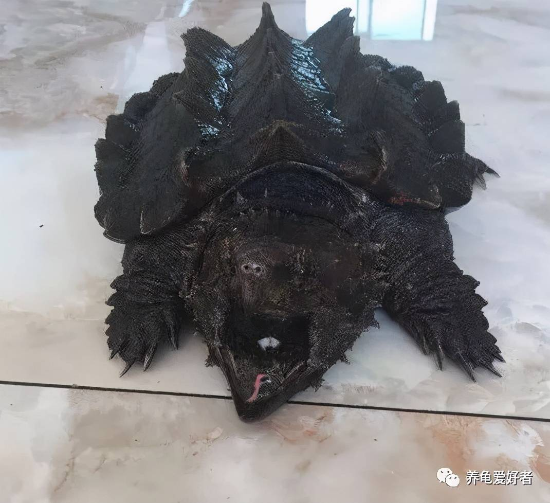 大鳄龟好养吗(大鳄龟是保护动物吗)插图(3)