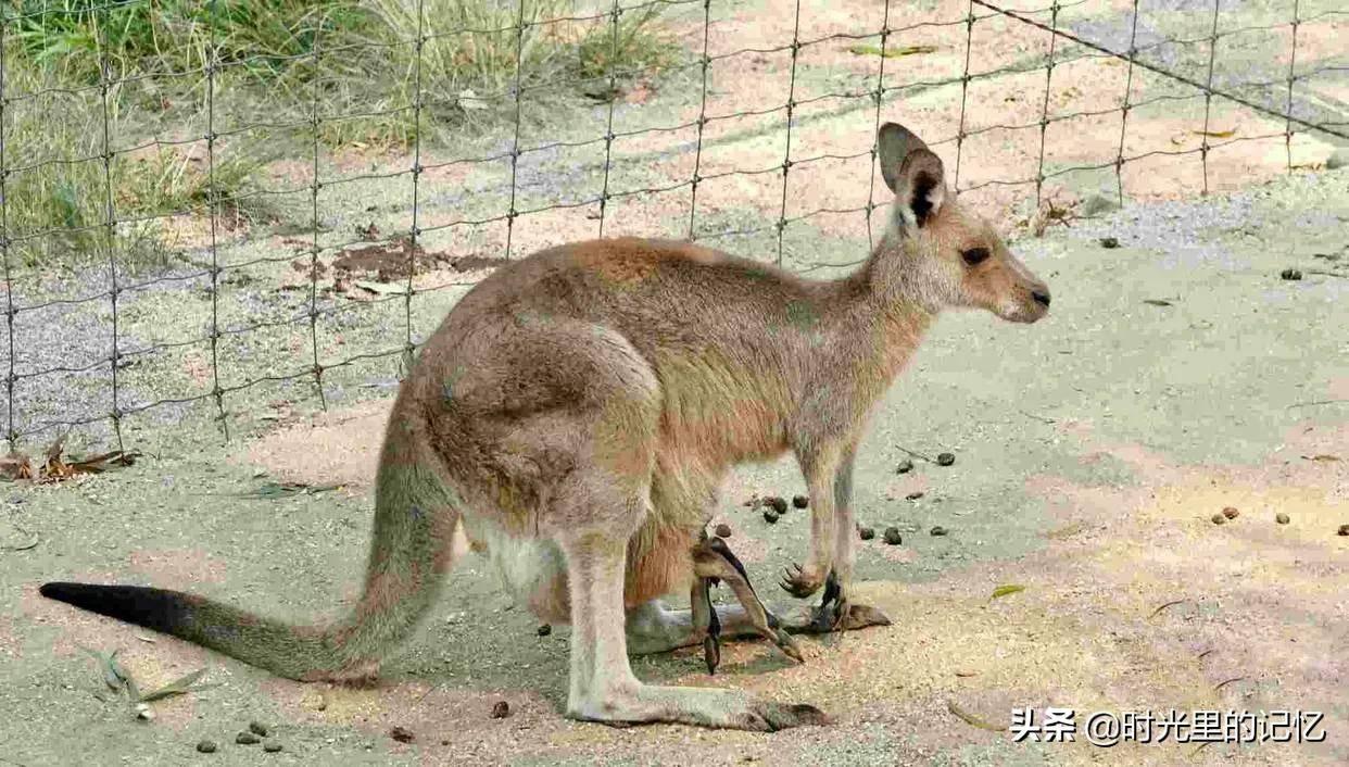 考拉是什么动物的别称(为何澳大利亚国徽不是考拉呢)插图(3)