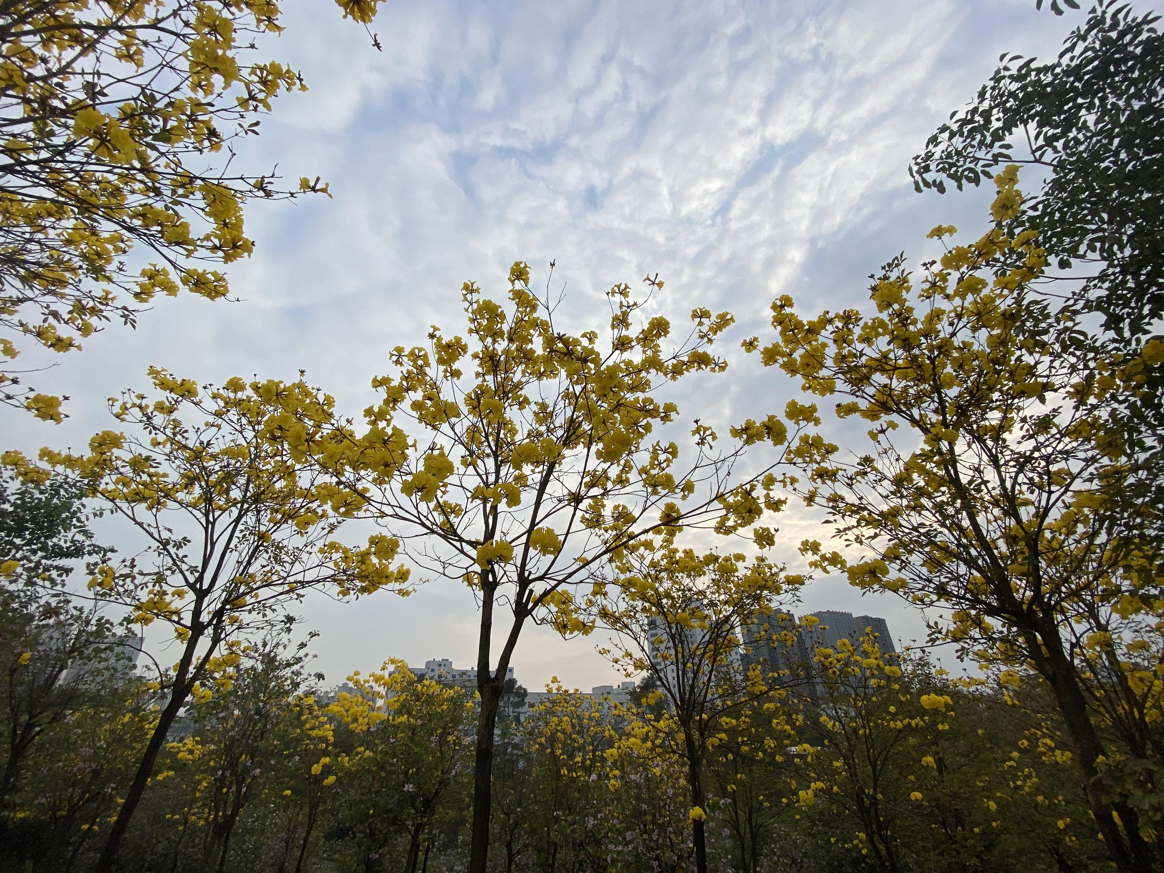 原创             南宁江南公园的黄花风铃开花了,这让春节期间又多了一个赏花地!