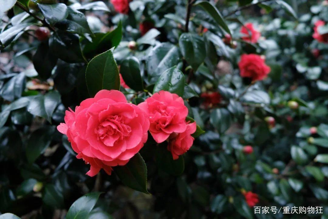 太美了!重庆早春赏花攻略出炉!大部分都免费!