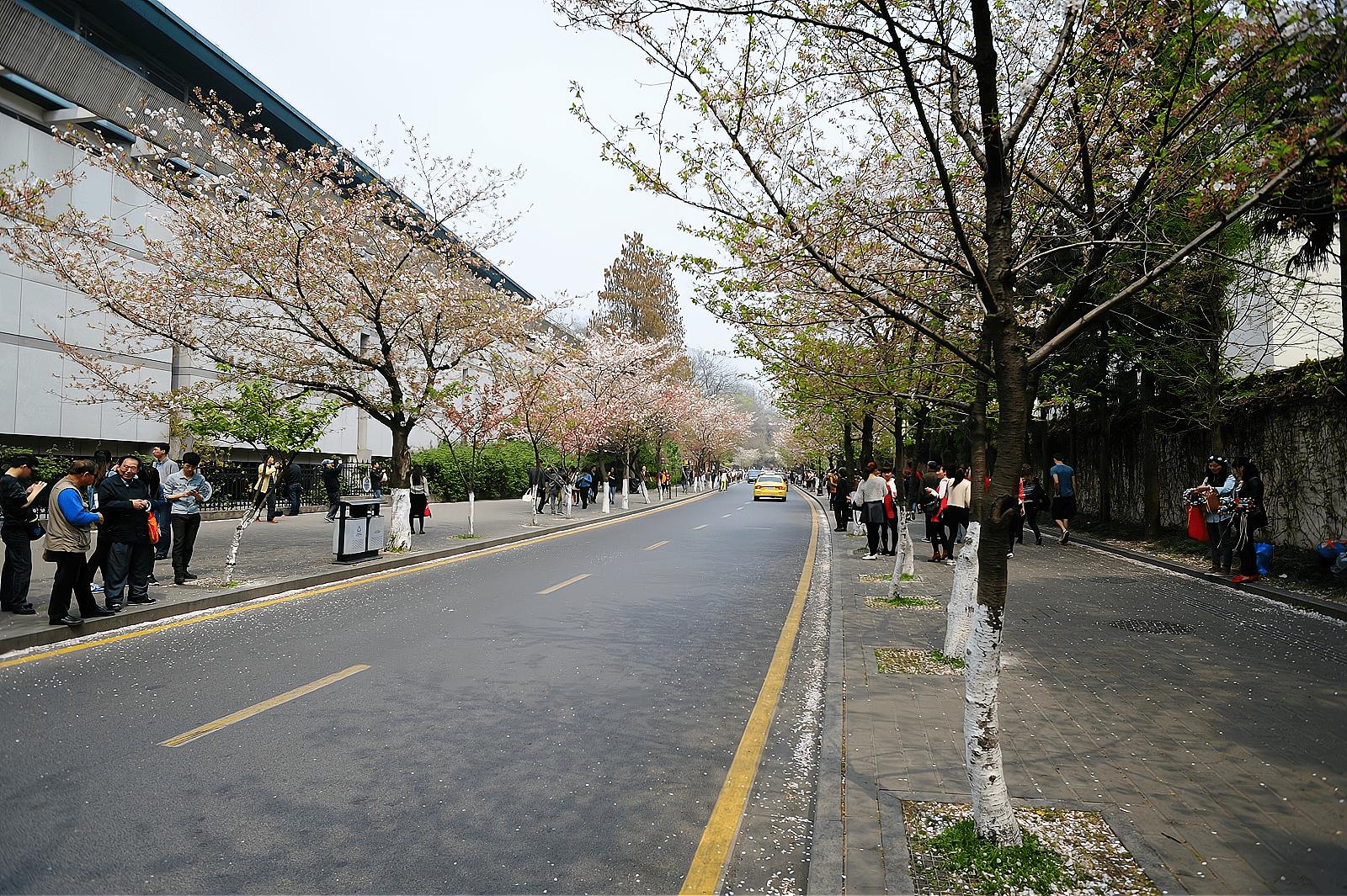 """南京有一条""""樱花大道"""",与千年古刹鸡鸣寺相邻,景色美如画"""