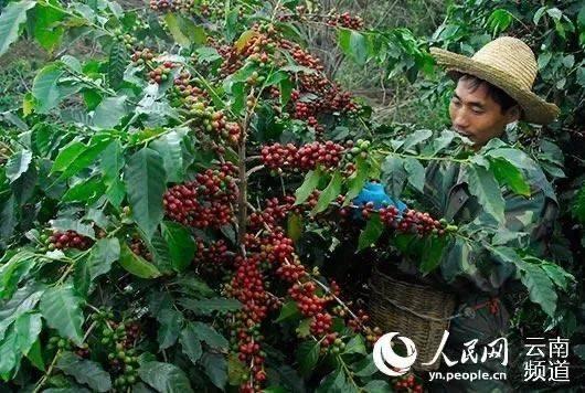 云南咖啡被贱卖:产业全国第一,却成了跨国资本的廉价供货商