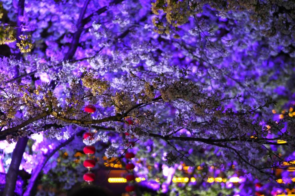 原创             一年一度的赏樱之旅,国内六处赏樱胜地,个个风景优美不输日本