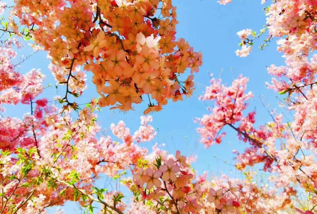荥阳古柏渡丰乐樱花园今天开园,樱花盛开等你来!