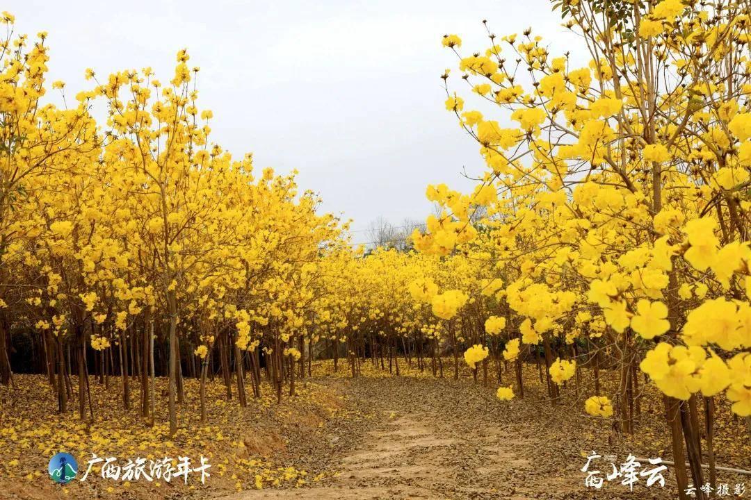 广西旅游年卡 | 太美了!南宁黄花风铃仙境竟然在这里