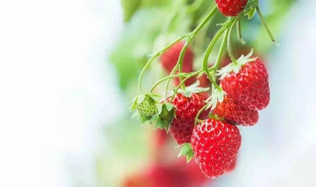 世界草莓生产及贸易现状