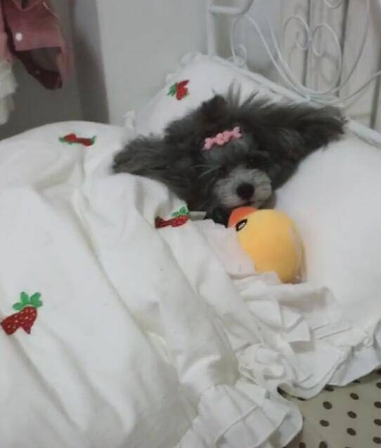 这只狗的房间让人倾心亚搏娱乐app,床、沙发、衣柜一应俱