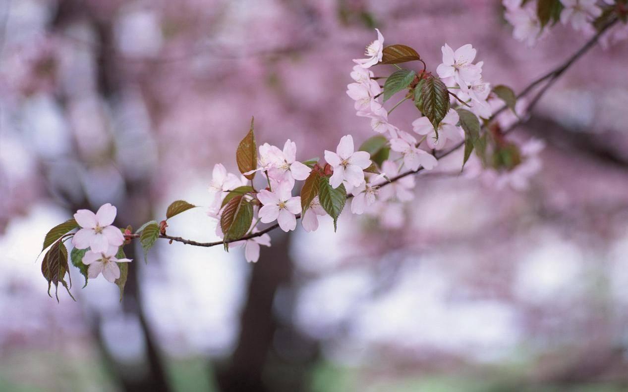 桃花太旺怎么避免 桃花运太旺了该怎么化解