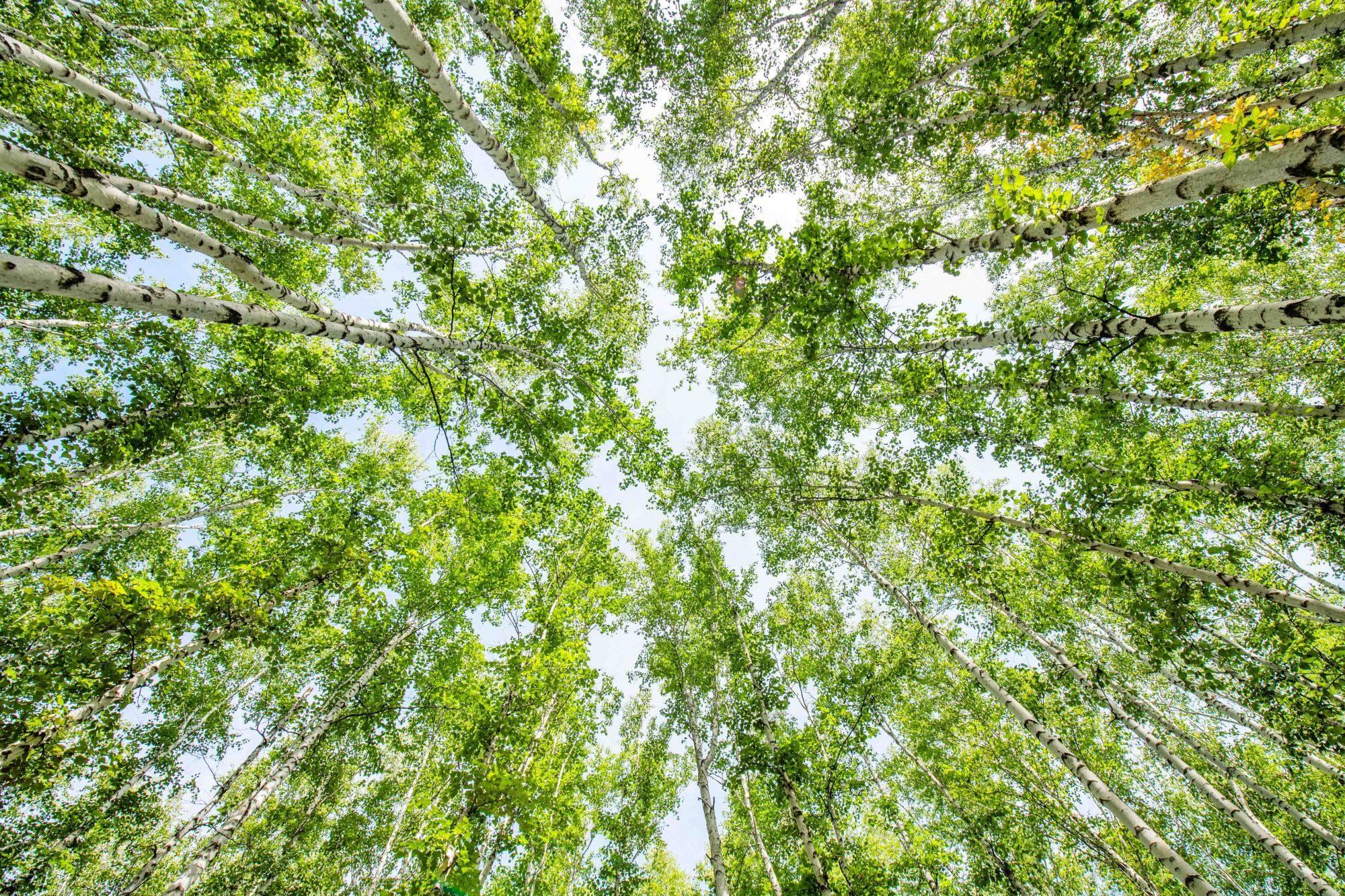 呼伦贝尔白桦林:看千顷层林尽染,品绝代锦绣芳华,惊艳你的春天