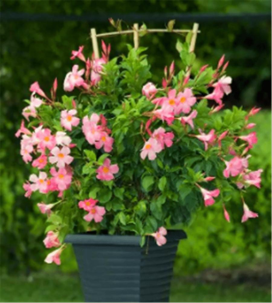 秋季必入4种花,现在养一盆,漂亮又好养,持续开花到明年夏季  适合秋天播种的花卉