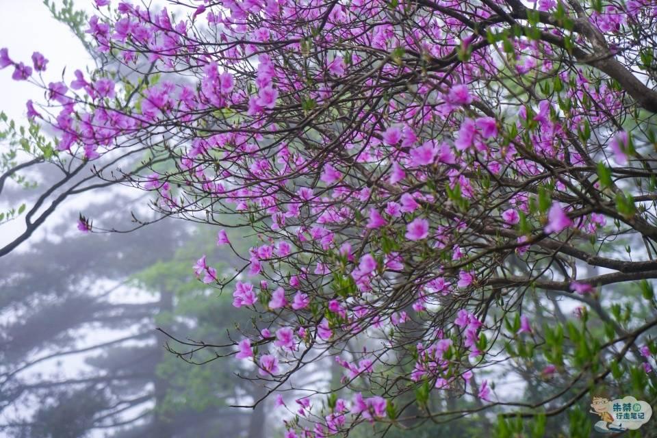 原创             我国最特别的杜鹃花景,不在湖北,也不在四川,而是在浙江天台