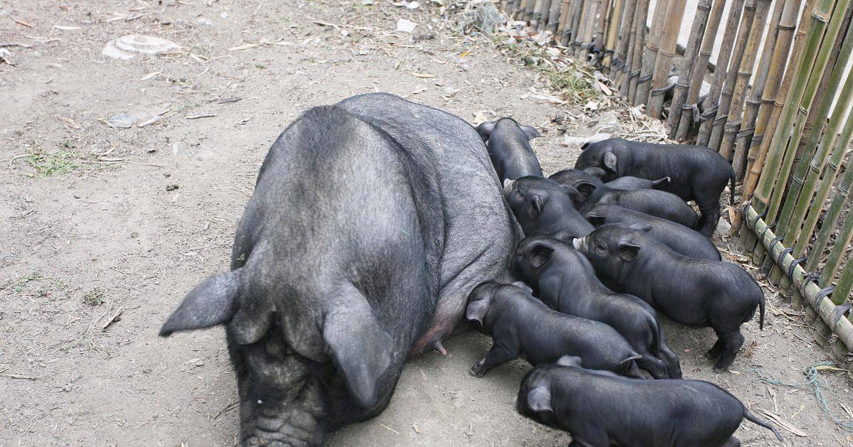 """5月4号猪价止跌反弹,有两条现象,或许是这次猪价上涨的""""号角"""""""