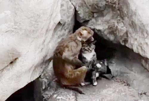 猫咪|当向来霸道的猫咪落到了猴哥手里,怕是少不了撸秃一层毛
