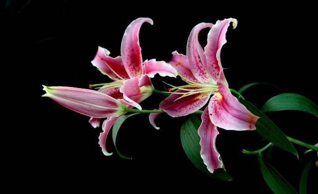 心理测试:选出你最喜欢百合花,测你马上会有什么好事到来!  第1张
