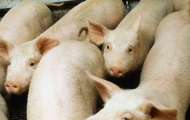 豬價跌至20個月最低,現10元以下豬肉,雪上加霜的是又有2消息