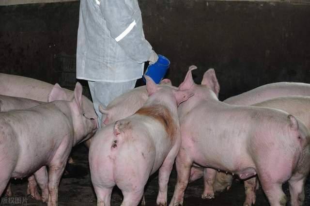 """猪价跌至""""谷底"""",卖一头猪亏上千元?养猪户做好寒冬来临的准备"""