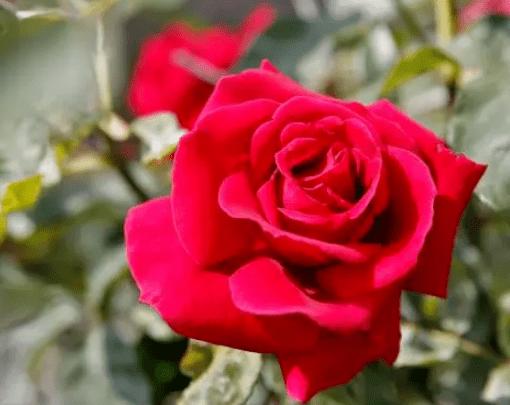 心理测试:四朵玫瑰花,哪朵最妖媚?秒测谁会对你不离不弃?  第4张