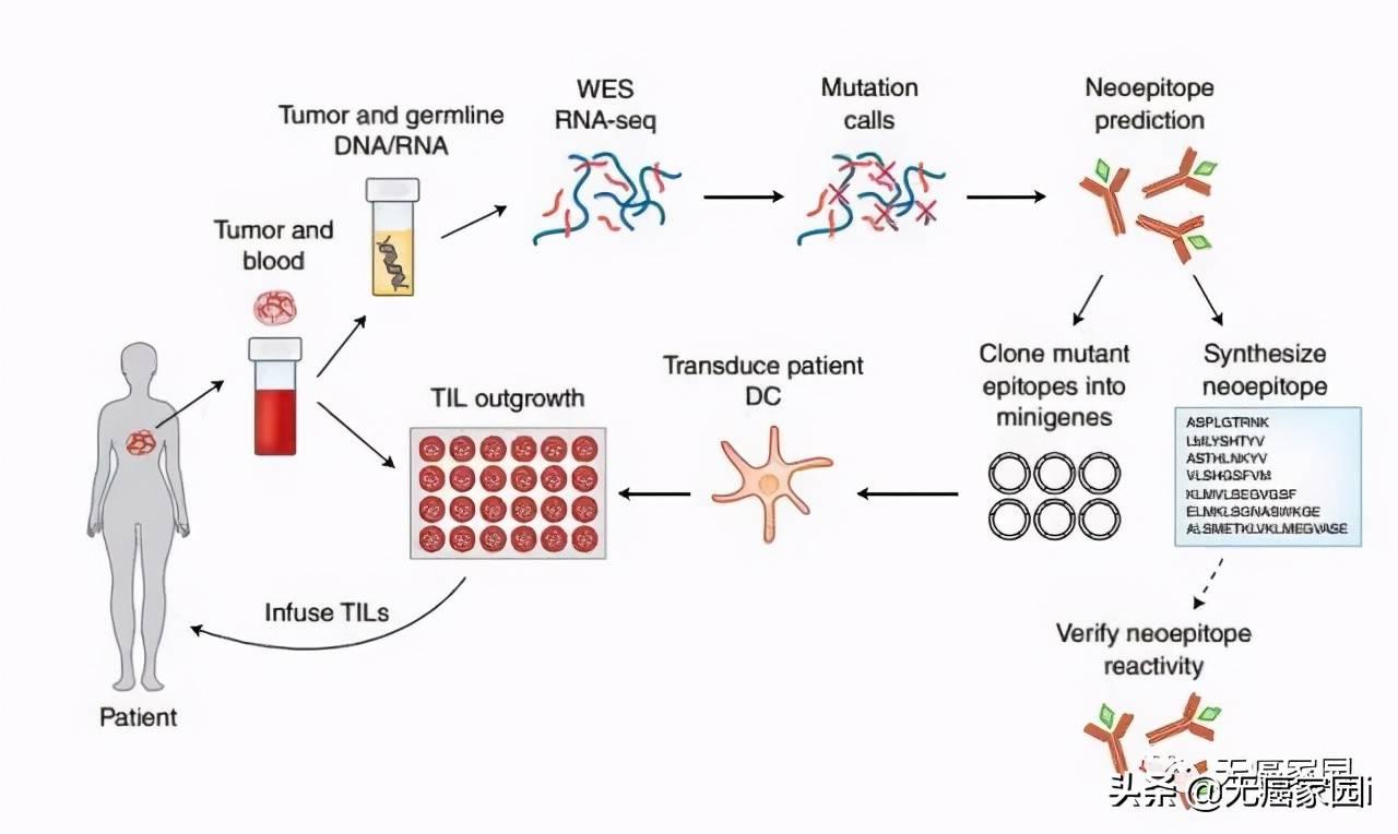 癌症免疫细胞疗法,唤醒沉睡的免疫系统军队  免疫细胞杀死癌细胞
