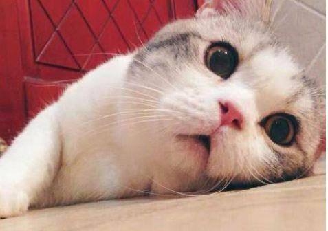 喜歡親近主人,是家養貓,不適宜在戶外散養