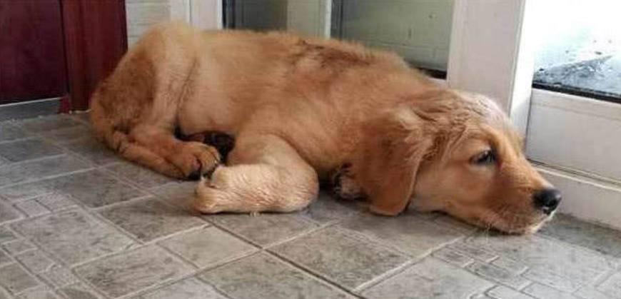 小金毛被狗販拐走,主人千里尋回,重逢那一刻狗媽哭了
