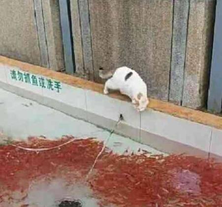 白猫看到一池观赏鱼,一顿操作让老板无奈,猫:得手了快遛!6gy